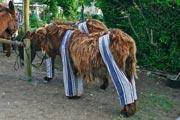 Les ânes en culottes