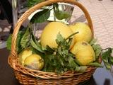 Citrons et Cédrats de Menton