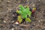 La rhubarbe survivante est en forme