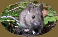 Mulot Sylvestre - Apodemus Sylvaticus