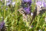 Au bonheur des abeilles...