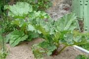 Rhubarbe en Juin