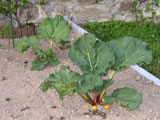 Rhubarbe en Mai