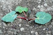 Rhubarbe en Mars